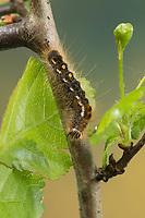 Goldafter, Dunkler Goldafter, Raupe frisst an Weißdorn, Euproctis chrysorrhoea, brown-tail, browntail moth, caterpillar, le Cul brun, Lymantriinae, Trägspinner, Schadspinner