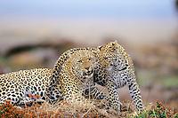African leopard (Panthera pardus) female with 3/4 grown young.  Masai Mara National Reserve, Kenya.