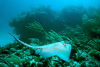 southern stingray, Dasyatis americana, Fowl Cay, Great Abaco, Bahamas, Atlantic Ocean