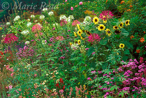 Wildlife-friendly summer garden flowers, including sunflowers, tansy, salvia, cleome, New York, USA<br /> Slide # GWF-27