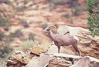 Desert Bighorn Sheep, a young ram seen in Zion National Park on a rock ridge