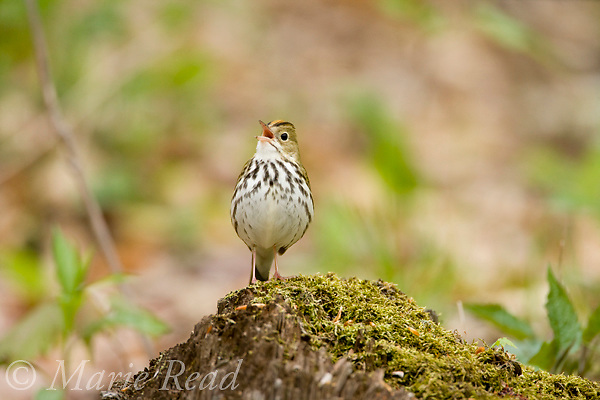 Ovenbird (Seiurus aurocapillus), singing from a log on the forest floor in spring, New York, USA