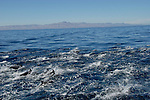 Dolphin in Gulf of California