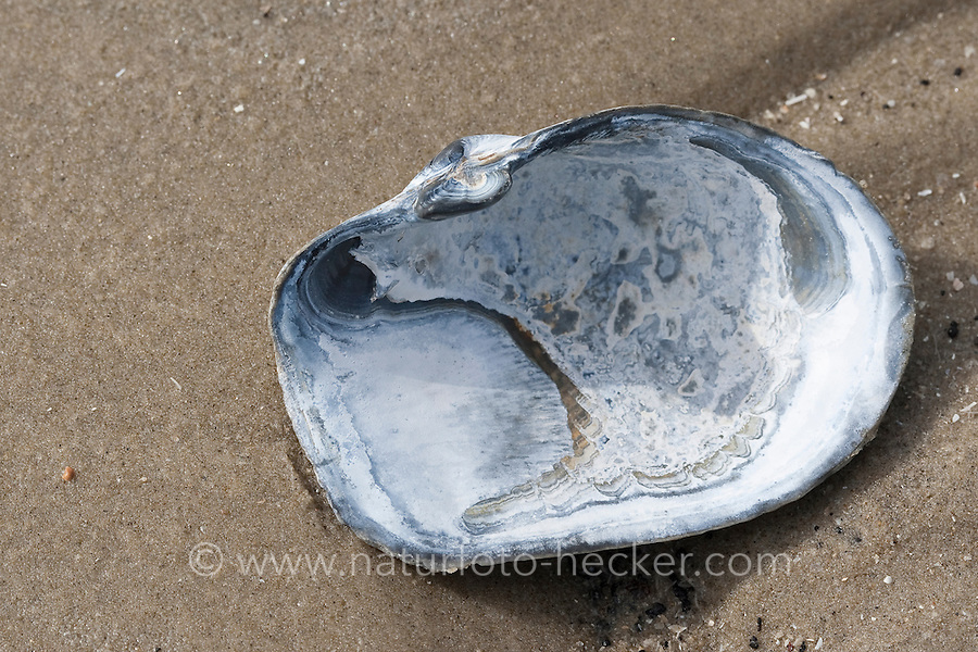 Abgestutzte Klaffmuschel, Gestutzte Klaffmuschel, Gestutzte Sandklaffmuschel, Gestutzte Sand-Klaffmuschel, Mya truncata, Schale, Muschelschale am Strand, Spülsaum, blunt gaper clam, truncate softshell clam