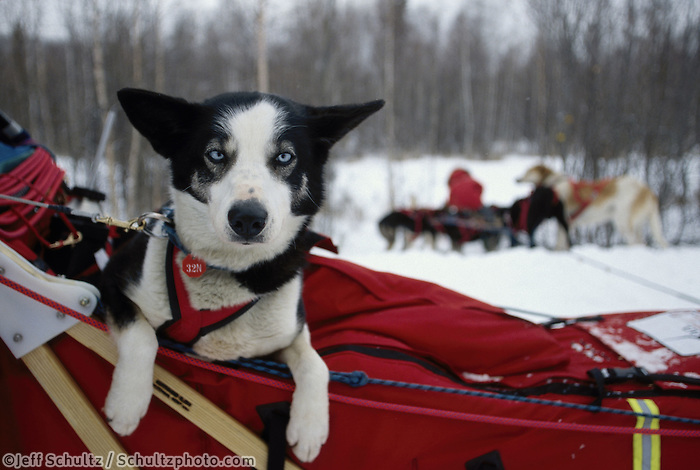D.Moderow's Dog -Fire- in Sled Basket Near Manley