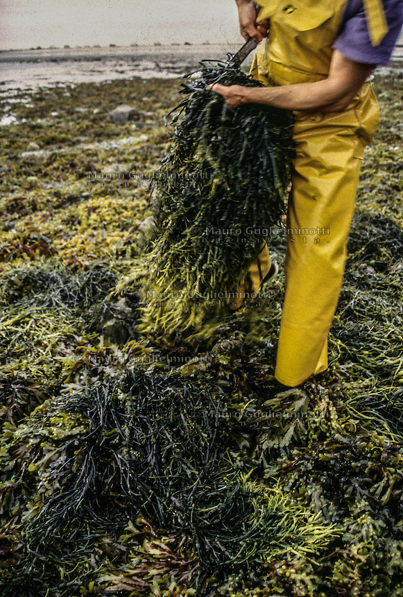 Francia - Bretagna - St Paul de Léon - raccolta delle alghe per uso alimentare - Ditta Algoplus France - Brittany - St Paul de Léon - harvesting algae for food use- Raccolta delle alghe con bassa marea in spiaggia