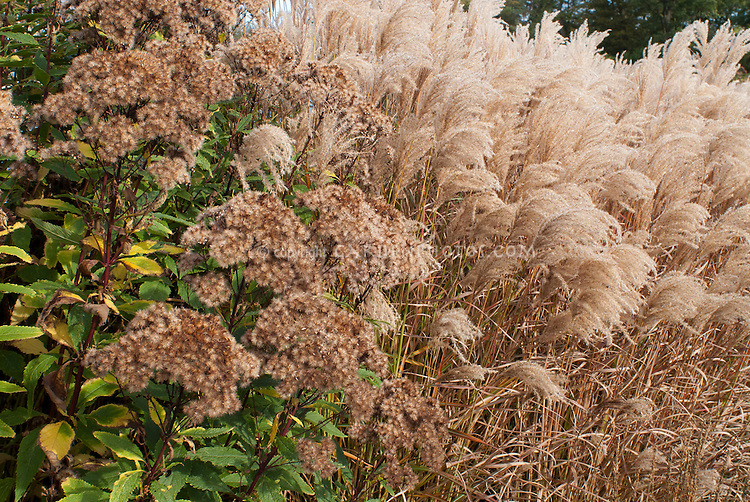 Eupatorium purpureum maculatum Atropurpureum Group 'Purple Bush' in autumn fall and Miscanthus sinensis Ferner Osten ornamental grass, damp garden plants together, dried flowerheads in beige tan tones, fluffy seedheads