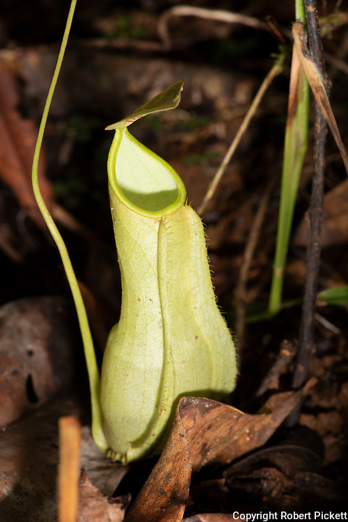 Pitcher Plant, Nepenthes distillatoria, Sinharaja World Heritage Site, Sri Lanka, endemic, Vulnerable IUCN Red Data List
