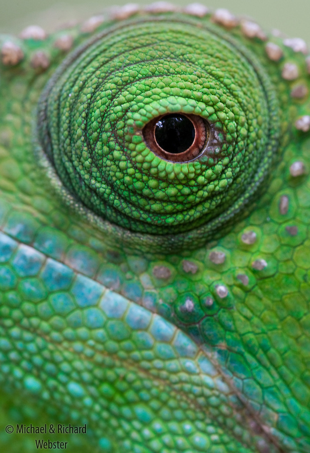 The eyes of chameleons are able to act independently such as rotating in different directions.