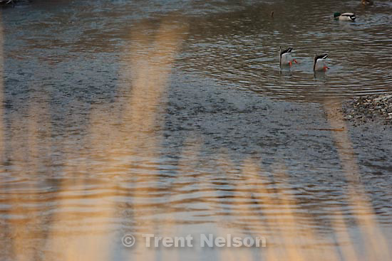 A pair of ducks feed along the Jordan River Parkway, Sunday, December 27, 2009.