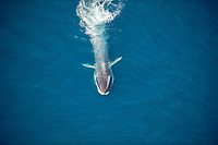 blue whale, Balaenoptera musculus, endangered, aerial, off of San Diego, California, USA, Pacific Ocean