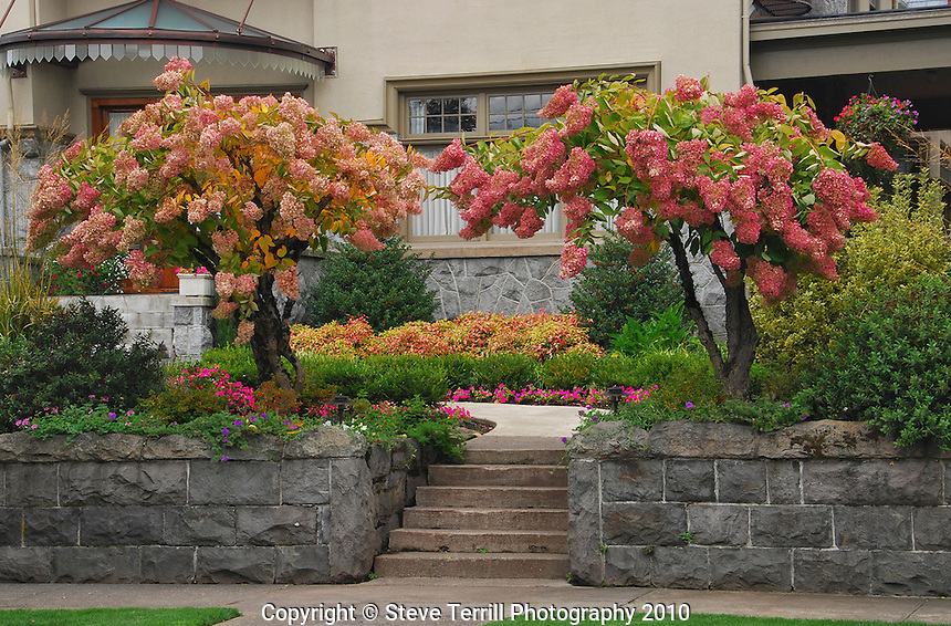 USA, Oregon, DC hydrangea bushes at stairway to stately home in Portland