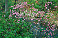 Pink azalea along Trough Creek<br /> Trough Creek State Park<br /> Appalachian Mountains<br /> Huntington County,  Pennsylvania