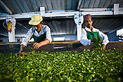 Factory workers, Kamal Subba (left) and Indrey Sarki are seen spreading the first flush Darjeeling tea leaves' pluck during the weithering process at Makaibari Tea Estate factory, Kurseong in Darjeeling, India.