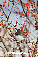 01569-015.05 Dark-eyed Junco (Junco hyemalis) in Common Winterberry (Ilex verticillata)  in winter, Marion Co. IL