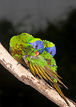 Rainbow Lorikeets mirror preening.  //  Rainbow Lorikeet - Psittacidae: Trichoglossus haematodus. Length to 30cm; wingspan to 45cm; weight to 150g; As part of the pair-bonding ritual Rainbow Lorikeets engage in a distinctive behaviour called mirror-preening - the two birds sit close together and preen so that at times they mimic each other's postures. This is a deliberate behaviour, and the postures can vary widely but always mimic each other - here they clean and reposition the feathers of the wing coverts. At other times they may preen individual tail or wing feathers together, or reach for the preen gland (oil gland) above the base of the tail, etc. This behaviour is interspersed with individual preening where each 'goes its own way', preening as needed to maintain plumage integrity. This species may be mated for life, but not certain due to insufficient data from the wild. The brown colour indicates the affected feathers (normally green as on the back) have structural colour caused by micro-structures on the barbules fine enough to alter the wavelength of reflected light. When wet this colour change occurs, only to be restored as the feathers dry. Found in coastal regions in northern and eastern Australia from the Kimberley Region in northern Western Australia (Red-collared Lorikeet) to eastern South Australia. Occurs in forests, woodlands and rural and urban areas. Feeds mainly on nectar and pollen which it gathers with its brush-tipped tongue. Aviary-escapees are established in many towns and cities. Now occurs in south-west Western Australia, New Zealand, Hong Kong.  Widespread with many subspecies - often with a different name - from eastern Indonesia (Maluku = Molucca Islands) through New Guinea east to Vanuatu and New Caledonia, north through Manus and the Admiralty Islands the Philippine Islands (taxonomy of the group is not yet finalised and this may be a different species).  Common.  //Eric Lindgren//