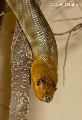 0422-1106  Woma (Ramsay's python, Sand python), Australia, Endangered Snake, Aspidites ramsayi  © David Kuhn/Dwight Kuhn Photography