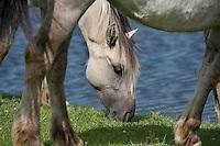 Konik horse feeding, Oostvaardersplassen, Netherlands. June 2009.  Mission: Oostvaardersplassen, Netherlands