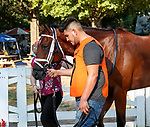 Somelikeithotbrown enters the paddock as Opry (no. 8) wins the With Anticipation  Stakes (Grade 3), Aug. 29, 2018 at the Saratoga Race Course, Saratoga Springs, NY.  Ridden by  Javier Castellano, and trained by Todd Pletcher, Opry finished 1 1/2 lengths in front of Somelikeithotbrown (No. 7).  (Bruce Dudek/Eclipse Sportswire)