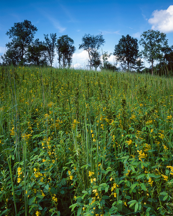 Field of Partridge Pea (Cassia fasciculata) on an Illinois Drift Plain; Jubilee College State Park, IL
