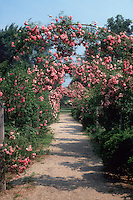 Rosa 'Dorothy Perkins' pink  climbing rose on trellises creating mirrored symmetry landscaping archways allee