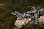 Baby alligators, Everglades National Park, Florida