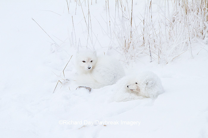 01863-01319 Two Arctic Foxes (Alopex lagopus) in snow Chuchill Wildlife Mangaement Area, Churchill, MB Canada