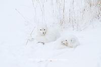 01863-01319 Two Arctic Foxes (Alopex lagopus) in snow Chuchill Wildlife Mangaement Area, Churchill, MB Canada