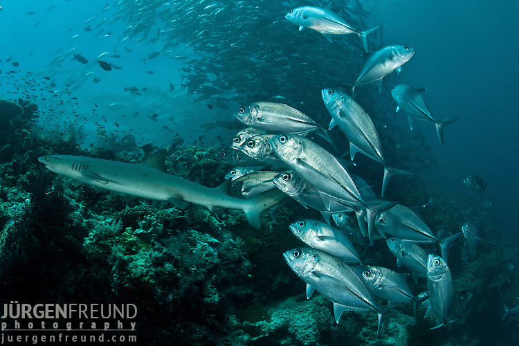 White tip reef shark(Triaenodon obesus) passing large schooling bigeye jacks or trevallies (Caranx sexfasciatus) at the edge of the reef