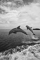 qk0635-D. Bottlenose Dolphins (Tursiops truncatus). Honduras, Caribbean Sea..Photo Copyright © Brandon Cole. All rights reserved worldwide.  www.brandoncole.com..This photo is NOT free. It is NOT in the public domain. This photo is a Copyrighted Work, registered with the US Copyright Office. .Rights to reproduction of photograph granted only upon payment in full of agreed upon licensing fee. Any use of this photo prior to such payment is an infringement of copyright and punishable by fines up to  $150,000 USD...Brandon Cole.MARINE PHOTOGRAPHY.http://www.brandoncole.com.email: brandoncole@msn.com.4917 N. Boeing Rd..Spokane Valley, WA  99206  USA.tel: 509-535-3489
