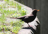 Stock image of a spotless European starling sitting on the edge of a high wall in Berlin.