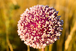Close up of red pink flowering seed head of onion plant