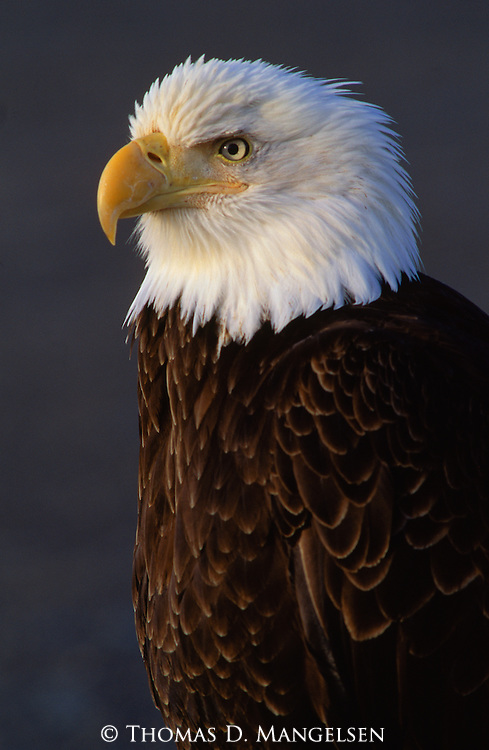 Profile portrait of bald eagle in Southeast Alaska.