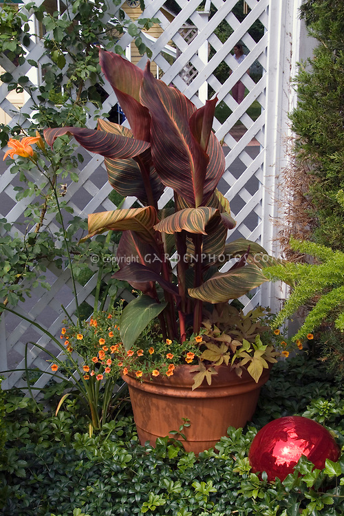 Container Garden: Canna 'Tropicanna' aka 'Praetoria' with Calibrachoa and Ipomoea 'Sweet Caroline Bronze' in pot, with daylily and red gazing ball against white lattice fence