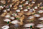Mallard ducks, Canada