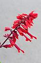 Salvia splendens 'Van-Houttei', mid October.