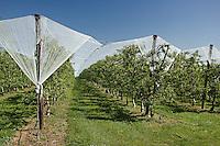 Verger de production de la pomme du Limousin, dans la region de Pompadour..Des filets protege les pommes de la grele..