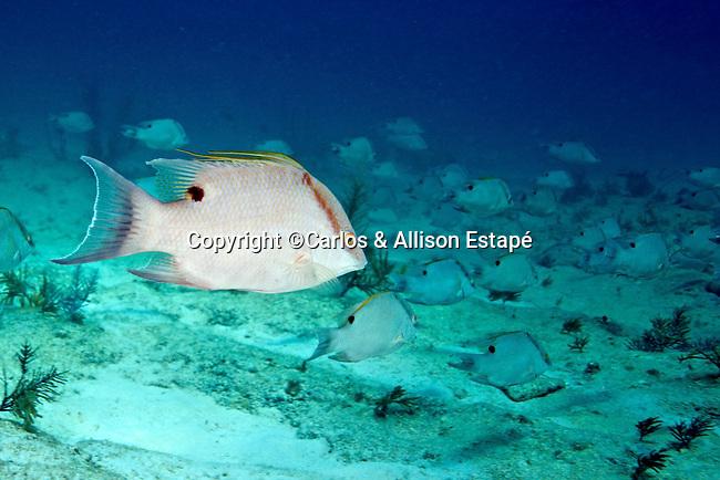 Labridae, Lachnolaimus maximus, Hogfish, FL Keys