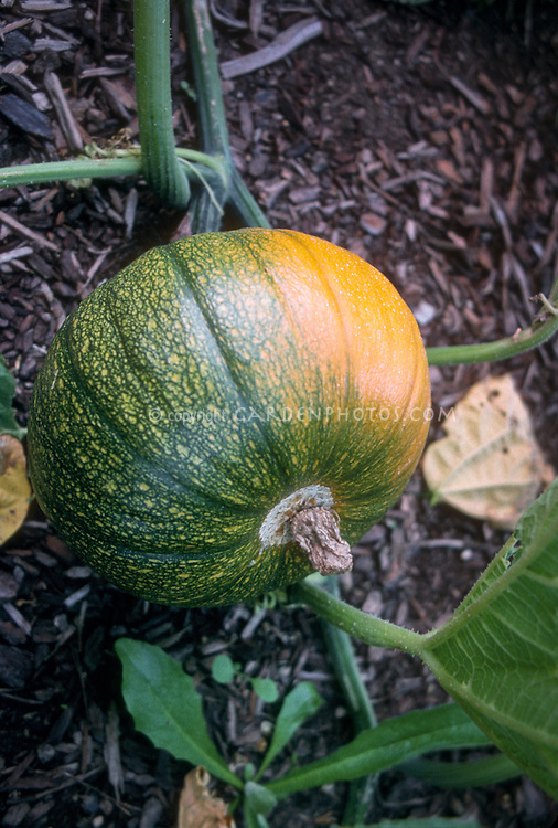 Pumpkin 'Baby Bear' turning from green to orange, Curcurbita pepo squash, ripening and growing in garden, dwarf variety
