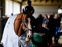 ELMONT, NY - JUNE 07: Justify walks shed row after exercising as horses prepare Thursday for the 150th running of the Belmont Stakes at Belmont Park on June 7, 2018 in Elmont, New York. (Photo by Scott Serio/Eclipse Sportswire/Getty Images)