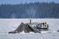 humpback whales, Megaptera novaeangliae, bubble net feeding near whale watchers, Chatham Strait, Alaska, USA, Pacific Ocean