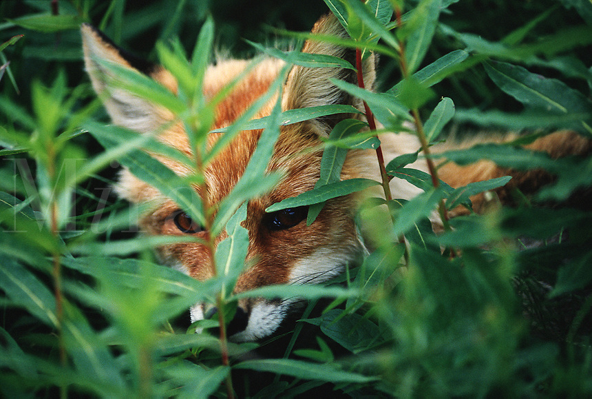 A Red fox (Vulpes vulpes) conceals itself behind leaves while hunting.