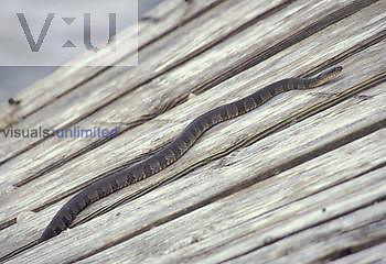 Lake Erie Water Snake ,Nerodia sipedon insularum, Ohio, USA