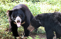 Two cute Indian black bears playing in forest