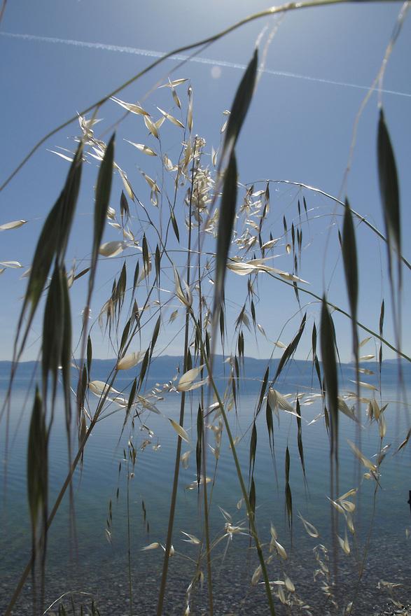 Wild oat grass, Avena fatua, growing along the side of Lake Ohrid.<br /> Lagadin region. Lake Ohrid (693m).<br /> Galicica National Park, Macedonia, June 2009<br /> Mission: Macedonia, Lake Macro Prespa /  Lake Ohrid, Transnational Park<br /> David Maitland / Wild Wonders of Europe