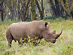 White Rhino, Lake Nakuru