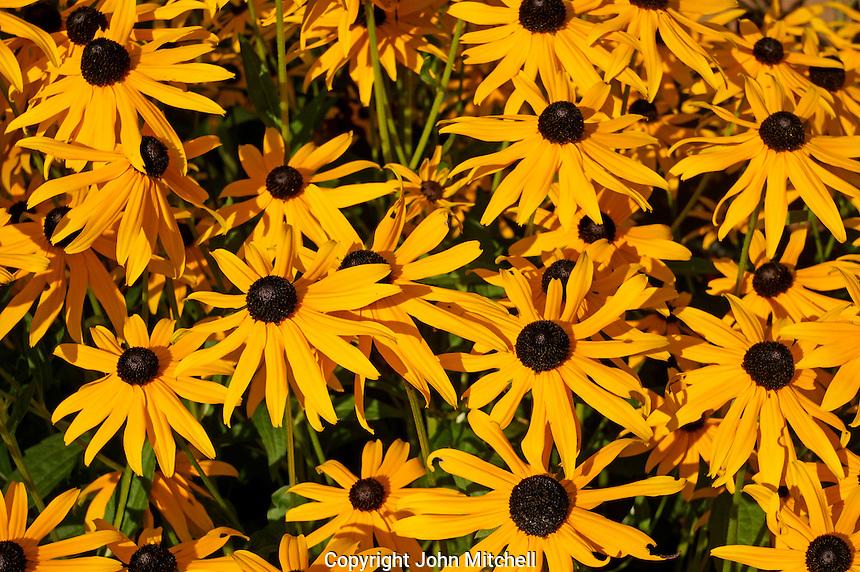 Brown-Eyed Susans or Rudbeckia hirta flowers