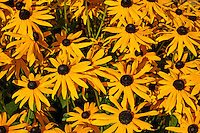Brown-Eyed Susans or Rudbeckia hirta flowers