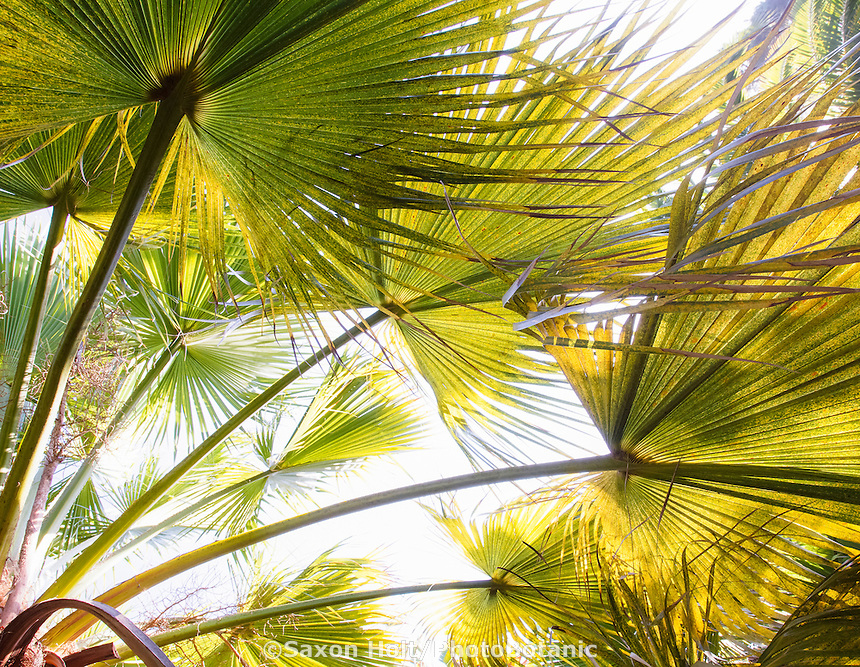 Sun light shining through palm leaves, Brahea edulis (Guadalupe Palm, Palma de Guadalupe) backlit  in Worth garden, California