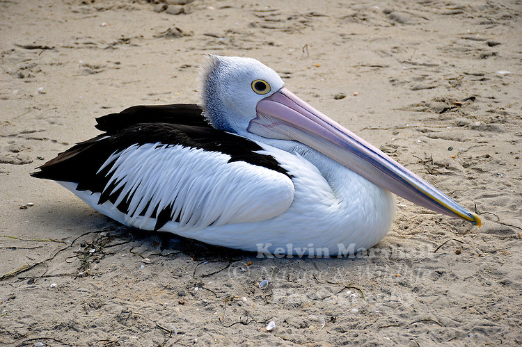 Australian pelican (Pelecanus conspicillatus) is a large waterbird of the family Pelecanidae, widespread on the inland and coastal waters of Australia and New Guinea, also in Fiji, parts of Indonesia and as a vagrant in New Zealand.